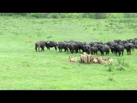 Buffalo s vs Lions