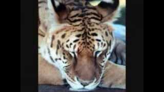 اجمل 10 حيوانات هجينة في العالم Top 10 Animal Hybrids