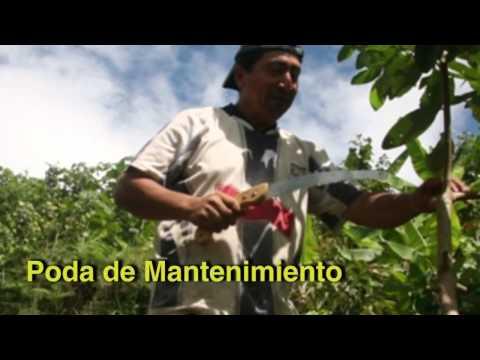 Consejos para mejorar la producción del cacao Poda