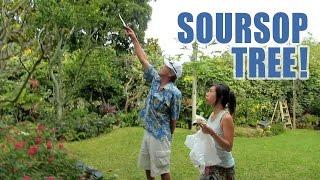 Soursop (Guanabana) Anti Cancer Fruit Picking + Garden Tour