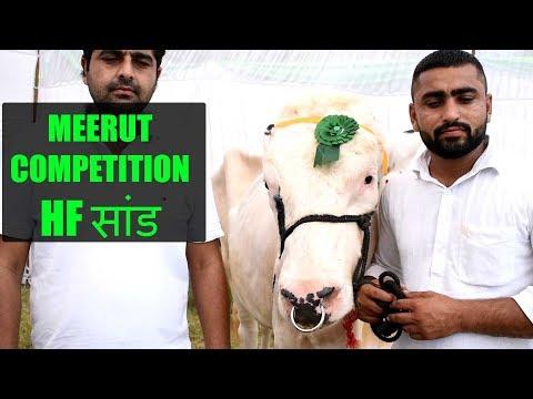 Xxx Mp4 Holstein Frieisan Bull And Jersey Bull At Meerut Competition Uttar Pradesh India 3gp Sex