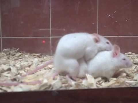 Lesbian Mice