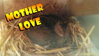 Baby quails (Button/King quails),  breeding and hatching