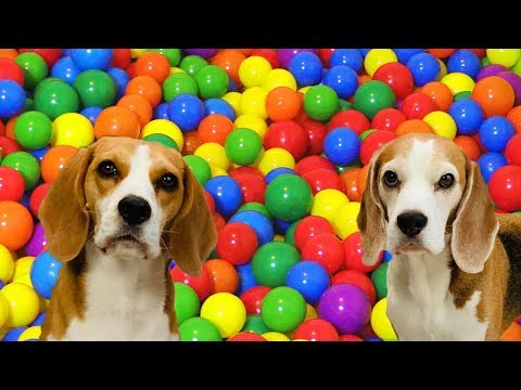 Turned my House into a BALL PIT Happy Dogs Louie and Marie