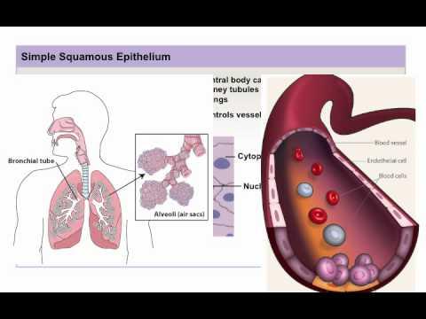 Chapter 4 Module 1 Epithelial and Glandular Tissue