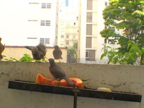 Filhotes da Sabiá laranjeira