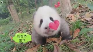 Panda Cub Cheng Shi
