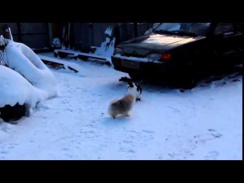 Азур Великолепный - бесстрашный укротитель кошек!