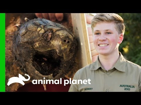Two Feisty Alligator Snapping Turtles Get Pedicures Crikey It s The Irwins