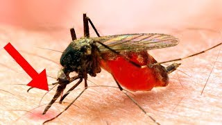 How Mosquitos COMPLETELY Changed Human History!