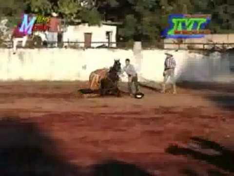 jaripeo ranchero toro el pantera