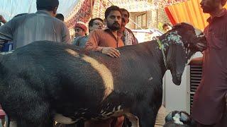 World record 300 kg goat  wins  Faisalabad  Goat Show 2018