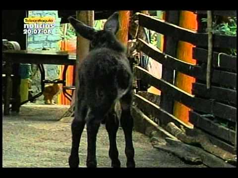 Una mula dio a luz a una burra en Envigado
