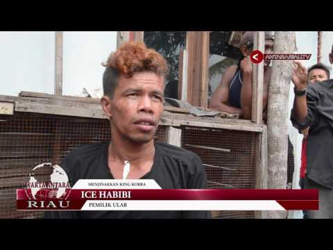 Satu Keluarga Di Riau Hidup Bersama Dua Raja Kobra