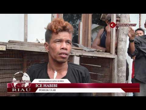 Xxx Mp4 Satu Keluarga Di Riau Hidup Bersama Dua Raja Kobra 3gp Sex