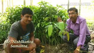 MANGO  GRAFTING // Contact grafting  with 100% SUCCESS.