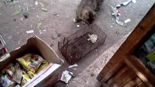 قطه وفار في المصيده