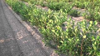 Growing Blueberries for Big Yearly Profits