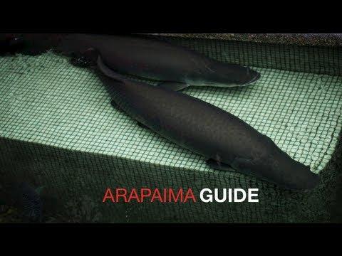 TL s Arapaima Care Guide 15 8 2013
