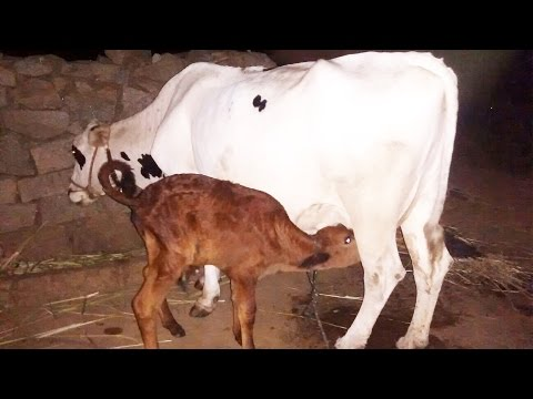 Milking of HF cow [Holstein Friesian] by hand in Telangana ,India