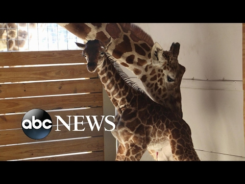 Millions waiting for viral sensation April the giraffe s calf to be named