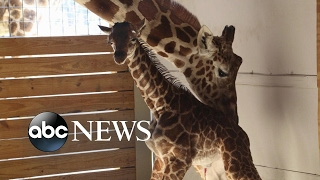 Millions waiting for viral sensation April the giraffe
