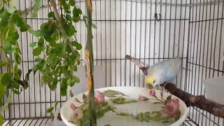 natural bathing of budgerigar .Boltu and Moana