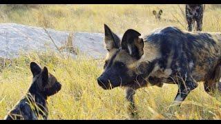 Robotic Spy Puppy Meets Wild Dogs