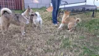 Adult pomskies playing with teenager pomsky