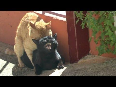 Cats making love breeding HD