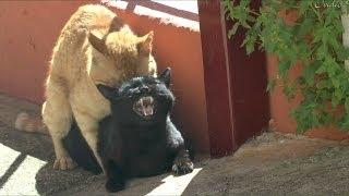 Gatos apareandose.impresionantes maullidos de la hembra.(HD)