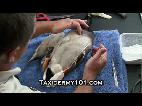 How to Taxidermy Bird Taxidermy Taxidermy Videos