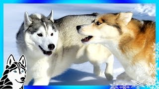 DOGS ATTACKED BY OTHER DOGS ?   #AskGTTSD 288   Siberian Husky
