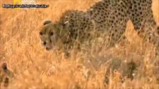 حروب السنوريات  الأسد فى مواجهة الفهد الصياد4
