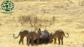 Lions vs buffalo   Crocodile vs Zebra   The real fight of animals attack prey @@
