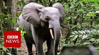 British army on elephant-saving mission - BBC News