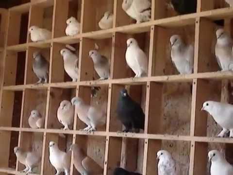 Iraqi Pigeons For Sale 619 861 7556 February 2012