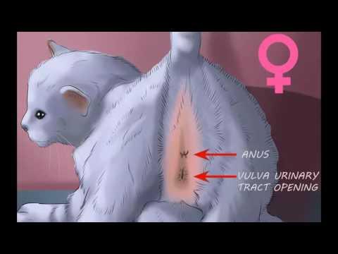 Xxx Mp4 كيفية تحديد جنس القطة ذكر ام انثى 3gp Sex