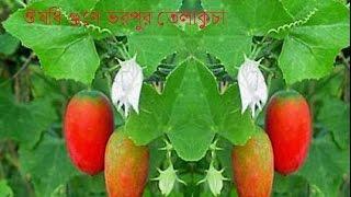 ঔষধি গুণে ভরপুর তেলাকুচার ৭ টি অসাধারণ গুণ//Osadharon Gune Vora Telakuca//তেলাকুচার উপকারিতা