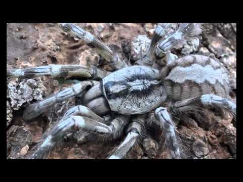 Nueva tarántula gigante muy rápida y venenosa descubierta en Sri Lanka