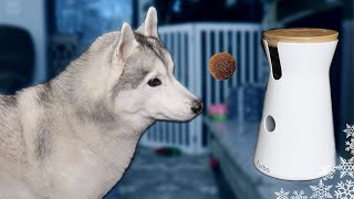 HOWLING HUSKIES REACT TO FURBO DOG CAMERA | Dogs React