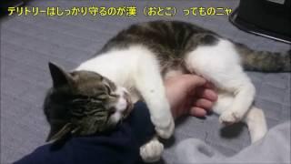 パパの腕にしがみついてボコボコ猫キックを食らわす猫リキちゃん・・・反省する姿がかわいい!【リキちゃんねる 猫動画】Cat videos キジトラ猫との暮らし