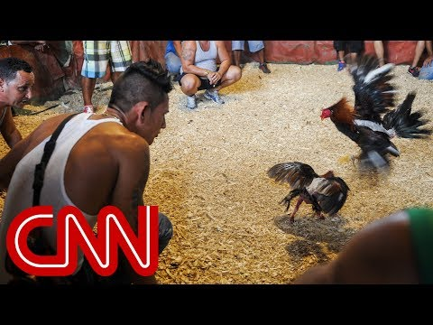 Cockfighting in Cuba A legal gray area