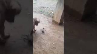Jamaica funny video