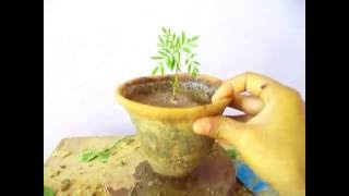 How to Grow Marigold in pots & Ground September 2016 || Marigold care & tips || Marigold seedling