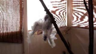 This is Ngarritj the White Cockatoo in Djalu's house, Birritjimi, Arnhem Land