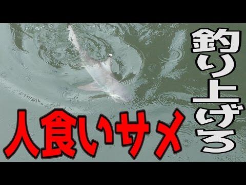 Xxx Mp4 都会の川にいる人食いサメを泳がせ釣りで狙う!【人食いオオメジロサメ】 3gp Sex