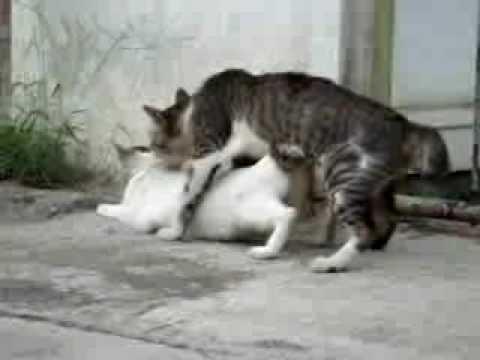 Kucing Kawin.mp4