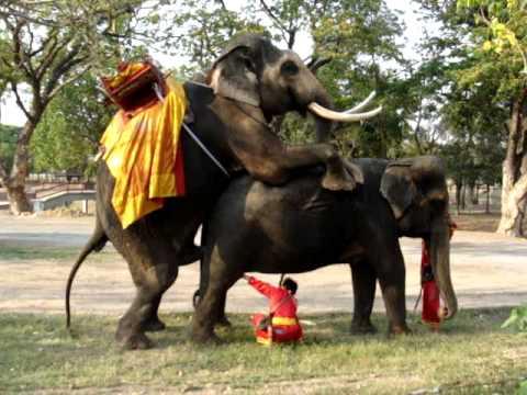 Elefantes copulando.MPG