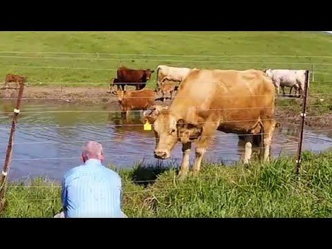 Xxx Mp4 Cow Asks Man To Rescue Her Newborn Calf 3gp Sex